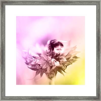 Bumblebee On Flower  Framed Print