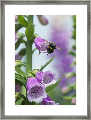 Bumblebee On Foxglove Framed Print by Science Photo Library