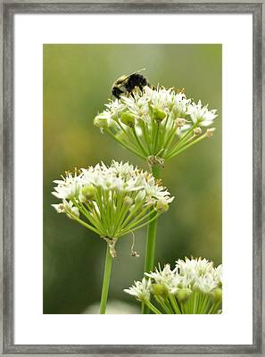 Framed Print featuring the photograph Bumblebee On Garlic Chives by Rebecca Sherman