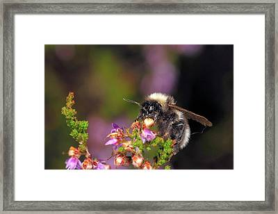Bumblebee On Heather Framed Print by Heiti Paves