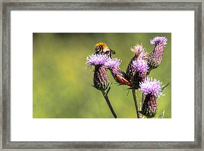 Framed Print featuring the photograph Bumblebee On Thistl by Leif Sohlman