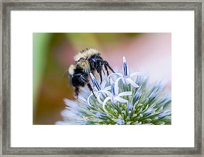Bumblebee On Thistle Blossom Framed Print by Marty Saccone