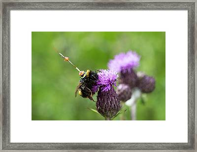 Bumblebee Radar Tagging Framed Print by Louise Murray