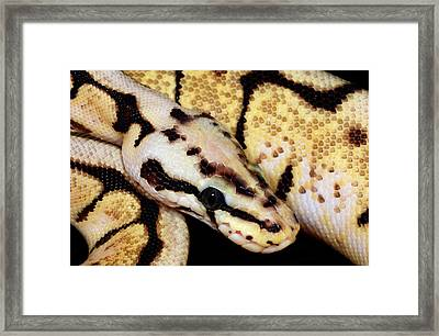 Bumblebee Royal Python Framed Print by Nigel Downer