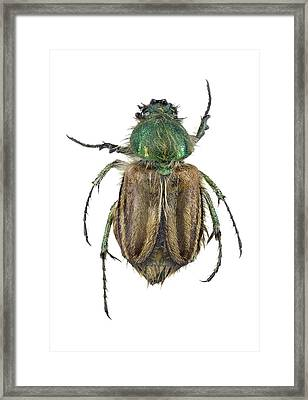 Bumblebee Scarab Beetle Framed Print by F. Martinez Clavel