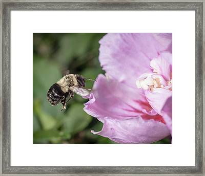 bumblebee to Rose of Sharon Framed Print by Len Romanick