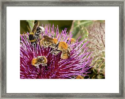 Bumblebees Feeding On Thistle Flower Framed Print by Bob Gibbons