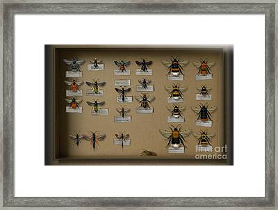Bumblebees - Wild Bees - Wesps - Yellow Jackets - Ichneumon Flies - Apiformes Vespulas Hymenopteras  Framed Print