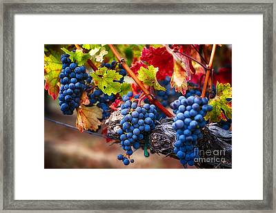 Bunch Of Blue Grapes On The Vine Framed Print by George Oze