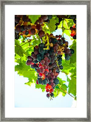 Bunch Of Grapes At The Abbey Of St. Hilaire Framed Print