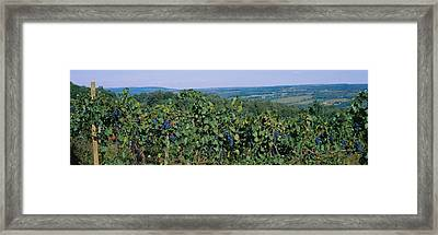 Bunch Of Grapes In A Vineyard, Finger Framed Print by Panoramic Images