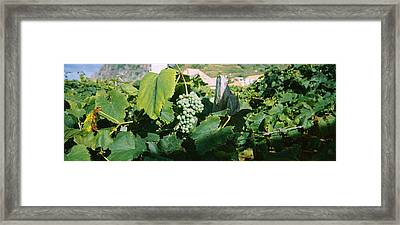 Bunch Of Grapes In A Vineyard, Sao Framed Print by Panoramic Images
