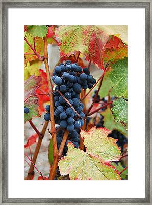 Bunch Of Grapes Framed Print by Jani Freimann