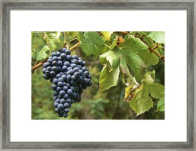 Bunch Of Grapes Framed Print by Paulo Goncalves