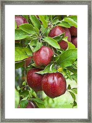 Bunch Of Red Apples Framed Print by Anthony Sacco