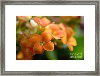 Bunch Of Small Orange Flowers Framed Print by Sami Sarkis