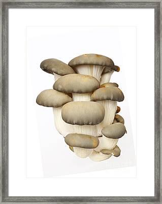 Bunch Of The Oyster Cap Mushroom Framed Print
