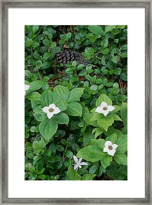 Bunchberry Framed Print by Ken Dietz