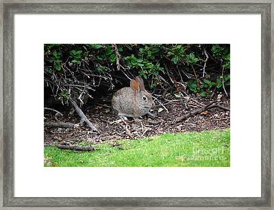 Framed Print featuring the photograph Bunny In Bush by Debra Thompson