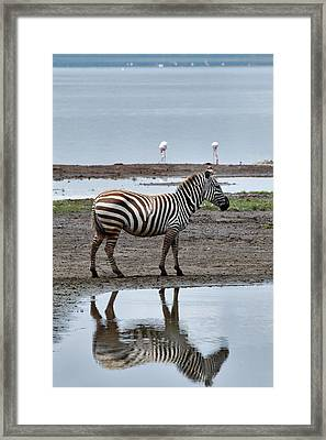 Burchell's Zebra And Reflection, Lake Framed Print by Adam Jones