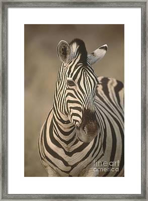 Burchells Zebra Framed Print by Art Wolfe