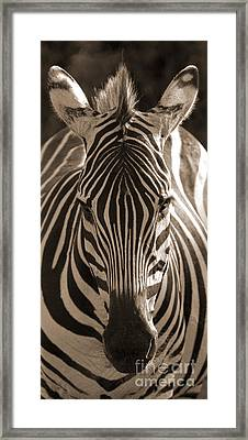Framed Print featuring the photograph Burchell's Zebra by Chris Scroggins