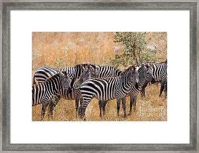 Burchells Zebra Equus Burchelli Framed Print by Gregory G. Dimijian, M.D.