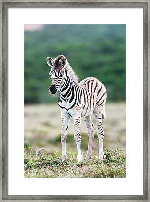 Burchells Zebra Foal Framed Print by Peter Chadwick