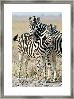 Burchell's Zebra Framed Print by Tony Camacho