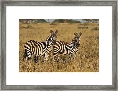Burchells Zebraon Savanna Serengeti Framed Print by Thomas Marent