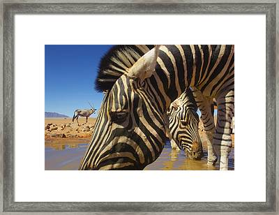 Burchells Zebras At Waterhole With Oryx Framed Print by Theo Allofs