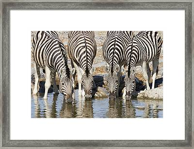 Burchells Zebras Drinking Etosha Np Framed Print by Richard Garvey-Williams