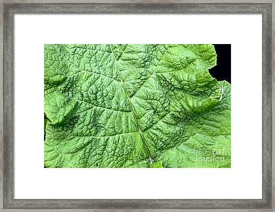 Burdock Arctium Lappa Framed Print