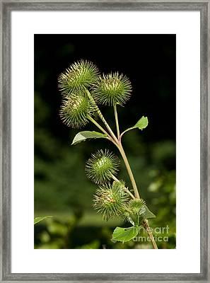 Burdock Flower Buds Framed Print