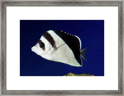 Burgess' Butterflyfish Framed Print by Nigel Downer