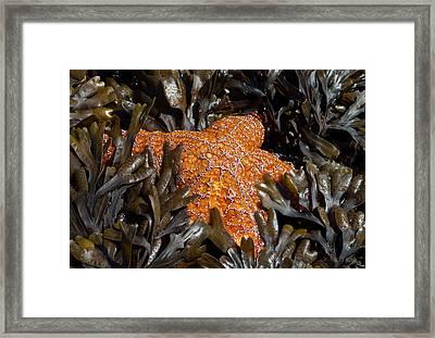 Buried In Kelp Framed Print by Sarah Crites