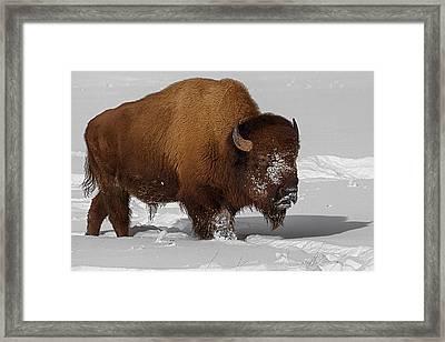 Burly Bison Framed Print by Priscilla Burgers