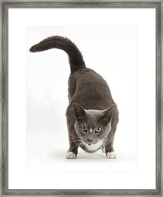 Burmese-cross Male Cat Framed Print