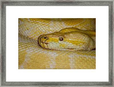 Burmese Python Framed Print by Ernie Echols