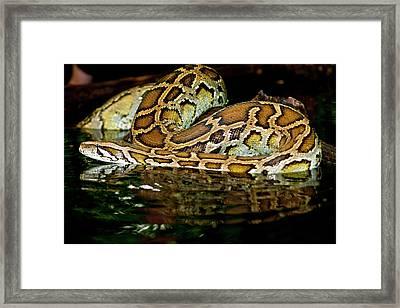 Burmese Python, Python Molurus Framed Print