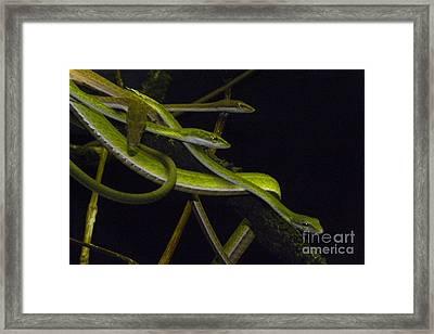 Burmese Vine Snakes Framed Print