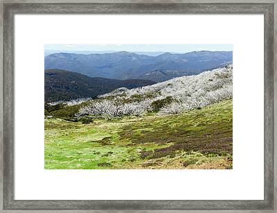 Burned Snow Gums On Mt Stirling Framed Print