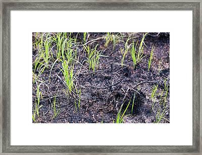 Burnt Out Forest Near Fairbanks Alaska Framed Print