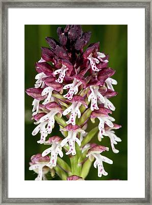 Burnt-tip Orchid (neotinea Ustulata) Framed Print