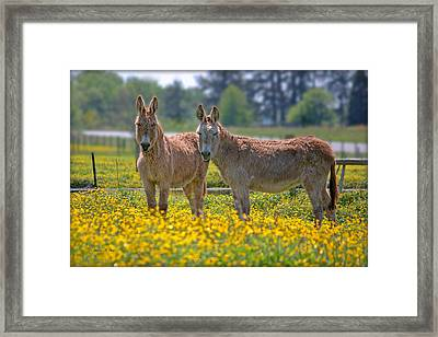 Burros In The Buttercups Framed Print