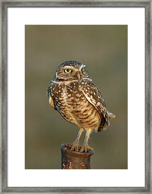Burrowing Owl At Sunset Framed Print