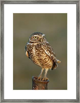 Burrowing Owl At Sunset Framed Print by Doug Herr