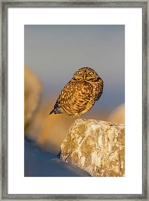Burrowing Owl (athene Cunicularia Framed Print by Larry Ditto