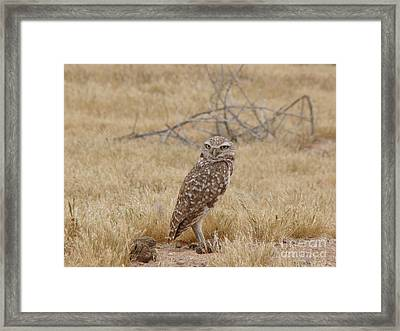 Burrowing Owl Framed Print by Beverly Guilliams