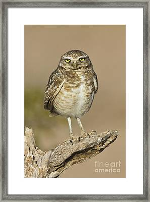 Framed Print featuring the photograph Burrowing Owl by Bryan Keil